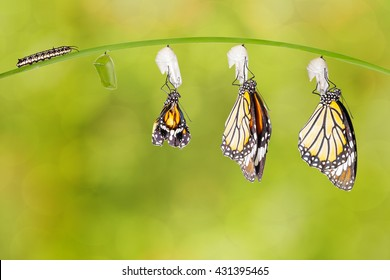 Transformation of common tiger butterfly emerging from cocoon with caterpillar