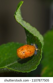 transformation of the ladybug