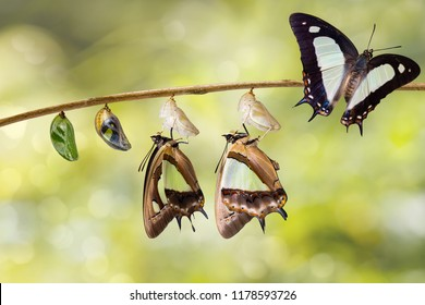 Transformation and life cycle of common nawab butterfly ( Polyura athamas ) from caterpillar chrysalis hanging on twig , metamorphosis , growth