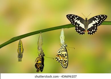 Transformation of Lime Butterfly ( papilio demoleus )
