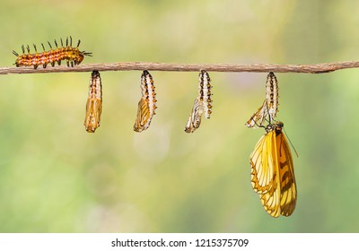 Transformation of yellow coster butterfly ( Acraea issoria ) from caterpillar and chrysalis hanging on twig , growth , metamorphosis