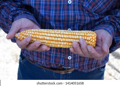 Transgenic Corn Milho Farmer Crop Hands Field