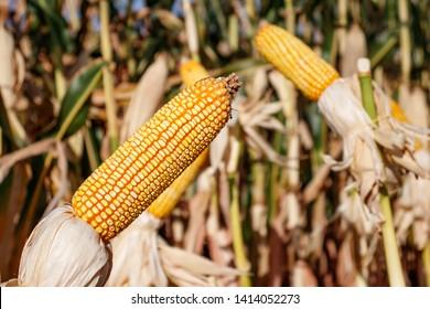 Transgenic Hibrid food Corn Field espigas de milho