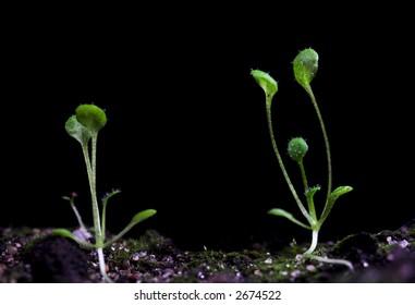 transgenic plant of Arabidopsis. Laboratory test for modification