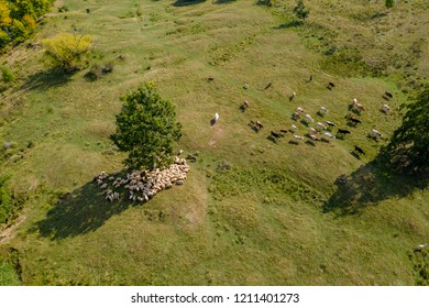 Transhumance, sheep herd  and shepherd on mountain pasture, aerial view