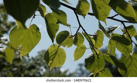 translucent green leaves on tree