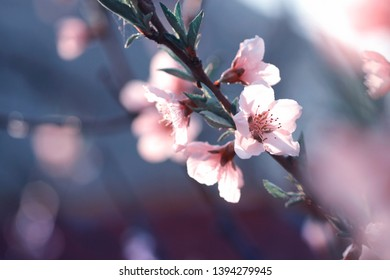Translucent pink flowers on the branch of peach tree on blue blurred background in beautiful sunlight