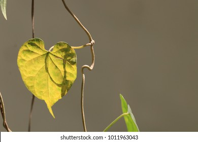 The transparency yellow leaf in heart shaped