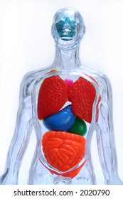Transparent body showing vital organs such as brain, lungs and intestine