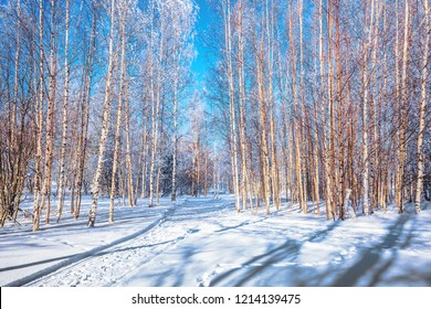 Transparent cold air of forest. Bright winter frosty day. Ski road in the snow-covered aspen grove. The concept of extreme and ecotourism