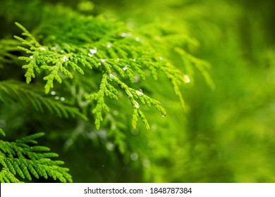 Transparent drop on Thuja twigs close-up. Beautiful macro dewdrops on a green leaves. Magic Christmas, New Year, ecological design. Emerald conifer natural background. Botanical abstract wallpaper