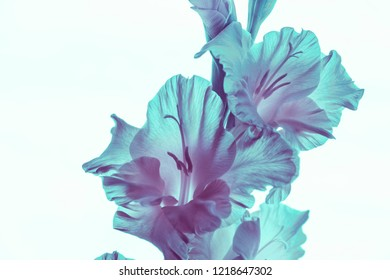 transparent flowers gladiolus, neon colors, white background. isolated