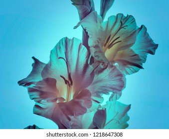 Transparent gladiolus flowers on a neon background. abstract composition.