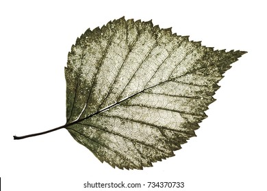 transparent half-decayed old leaf birch with filigree pattern on a white isolated background