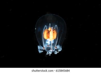 Transparent jellyfish in the dark