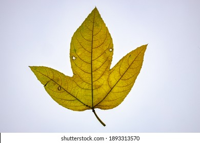 Transparent leaves of Passiflora on white background showing lines and patterns