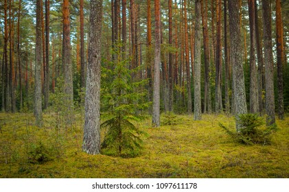 transparent pine forest