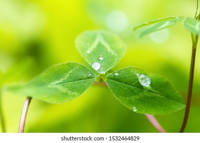 Transparent raindrops on clover leaves close-up in the sun. Natural background. Good Luck Symbol Concept.