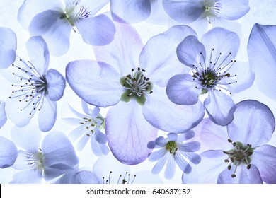 Transparent spring flowers close-up. Blue toning.