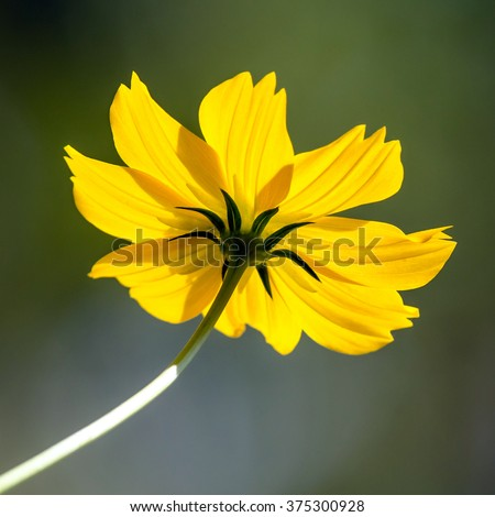 Transparent Sunlight Cosmos Flower Mexican Aster Stock Photo Edit
