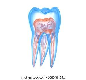 Transparent teeth. 3d renderings of endodontics inner structure over white background
