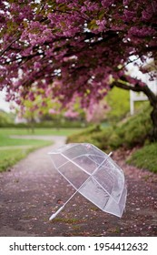 Transparent umbrella with raindrops and pink sacura flower in spring blossom park