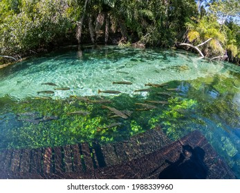 Transparent water river in Bonito MS. Sucuri River with fish and clear water