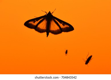 Transparent-looking moth sitting on an orange light with two other small insects