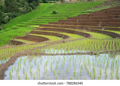 transplant rice terrace seedlings field in Ban Pa Bong Piang, Chiagmai, the north of thailand, nobody
