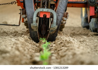 Transplantation of organic lavender with agricultural machinery