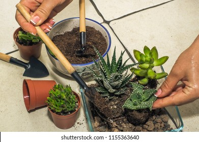 transplantation of room succulents. creation of composition, flo