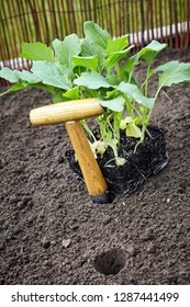 Transplanting fresh leafy green vegetable seedlings into a veggie garden with fertile soil using a small wooden augur