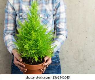 Transplanting a houseplant Cupressus Goldcrest Wilma in a clay pot, woman holding a pot in her hands against the background of a concrete wall