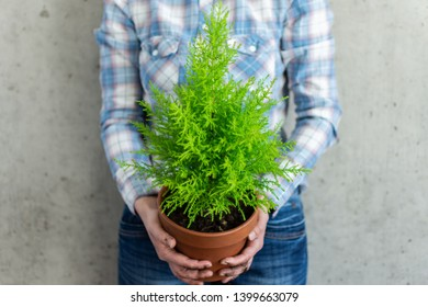 Transplanting a houseplant Cupressus Goldcrest Wilma in a clay pot, women's hands in the ground are holding a pot
