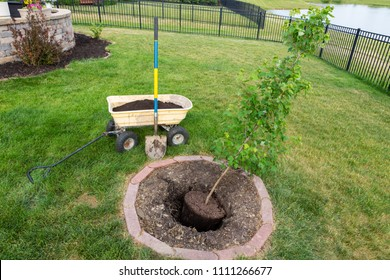 Transplanting a new young maple tree in a garden into a fresh hole dug in a circular flowerbed in green grass
