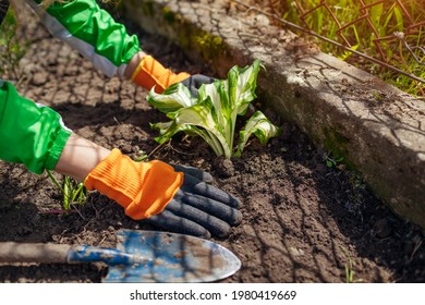 Transplanting variegated tricolor hosta shade tolerant plant in spring garden. Gardener covers plant with white stripes with soil