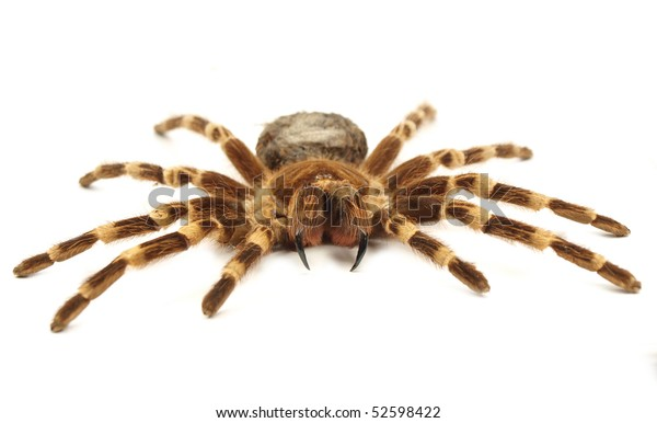 Trap door spider Acanthoscurria geniculata isolated