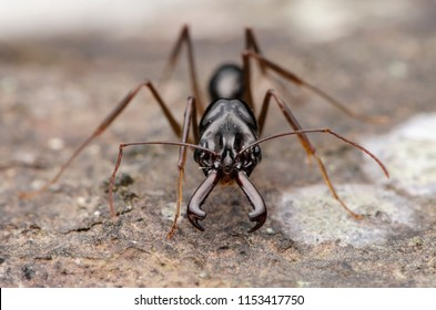 trap jaw ant. Odontomachus.sp