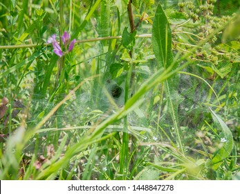 Trap of spider (snare) in a funnel shape from the thick cobwebs, the spider sits at the end of the funnel (Ambush)