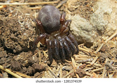 Trapdoor spider (Ctenizidae) photographed in natural environment of soil and dry vegetation in Israel