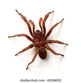 Trapdoor Spider (Cyrtaucheniidae)