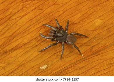 Trapdoor spider of the family Ctenizidae from Kanger Ghati National Park, Bastar District, Chhattisgarh