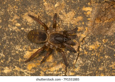 Trapdoor spider, genus Tigidia of the brush footed spider family Barychelidae from Pondicherry, Tamilnadu, India