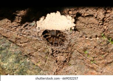 Trapdoor spider in habitat.