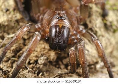 Trapdoor spider (Nemesiidae) close up portrait. Liguria. Italy.