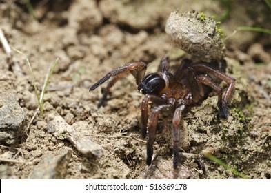 Trapdoor spider (Nemesiidae) large portrait. Liguria. Italy.