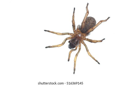 Trapdoor spider (Nemesiidae) macro, close-up portrait on white background. Liguria. Italy.