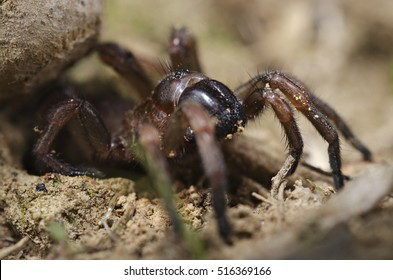Trapdoor spider (Nemesiidae) macro, close-up portrait. Liguria. Italy.