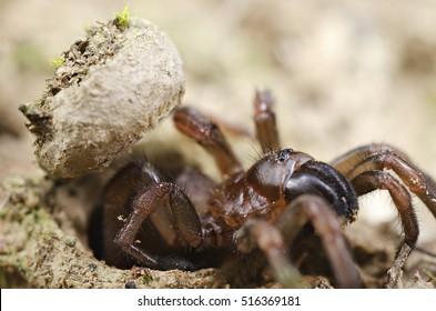Trapdoor spider (Nemesiidae) side view. Liguria. Italy.