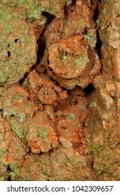 Trapdoor spider nests